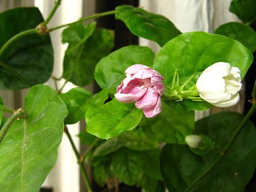 Жасмин цветок розовый фото комнатный
