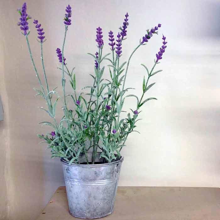 Лаванда выращивание из семян в доме 598