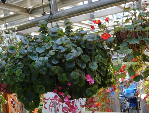 цветы комнатные размножение антуриума в домашних условиях
