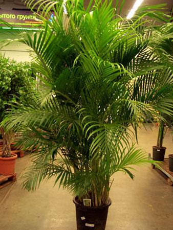 пальмы комнатные цветы фото и названия