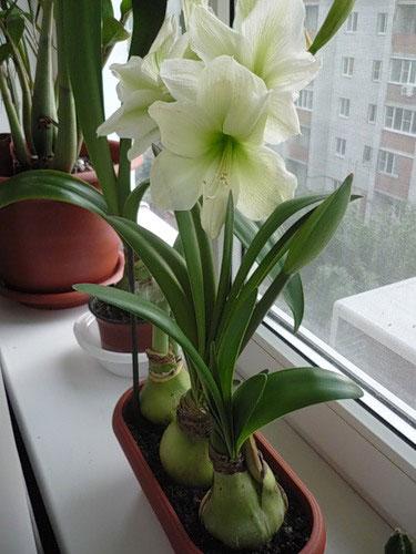 Цветок луковичный