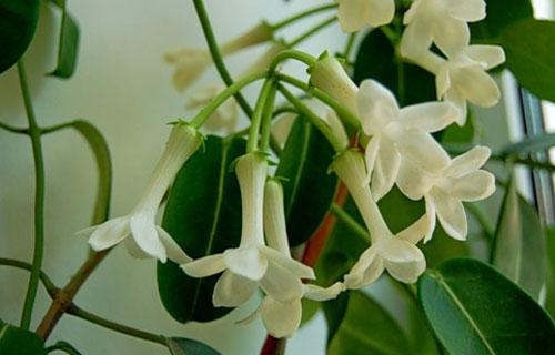 комнатный вьющийся фото цветок