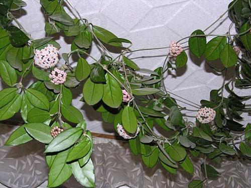 комнатные плетущиеся растения фото