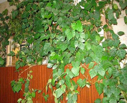 По душе вьющиеся комнатные растения
