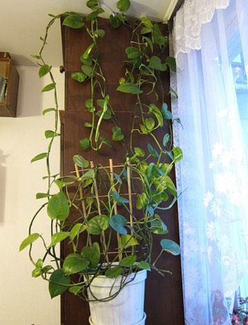 Вьющиеся комнатные растения прекрасно дополняют интерьер, украшая стены и оживляя пустые уголки